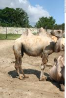 Camel 0008