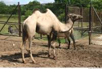 Camel 0014