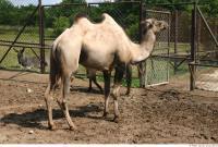 Camel 0015