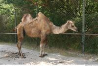 Camel 0023