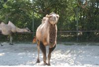 Camel 0028