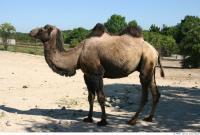Camel 0029
