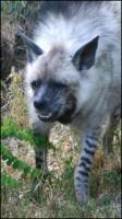 Hyena III