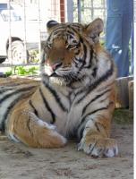 Tiger 0082