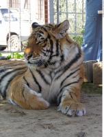 Tiger 0083