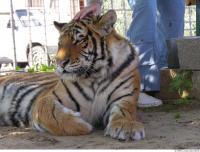 Tiger 0084