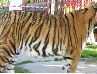 Tiger 0095