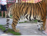 Tiger 0096