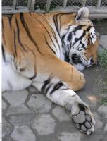 Tiger 0099