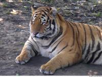 Tiger 0102