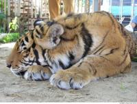 Tiger 0141