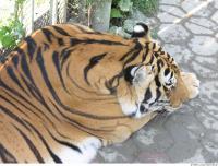 Tiger 0160