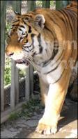 Tiger poses