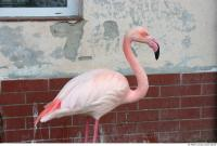 Flamingos 0010