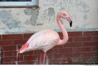 Flamingos 0011