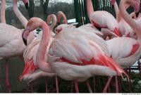 Flamingos 0032