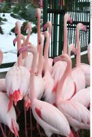 Flamingos 0040