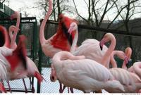 Flamingos 0042