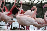 Flamingos 0043