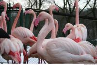 Flamingos 0044