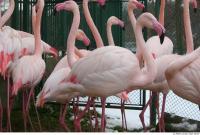 Flamingos 0045