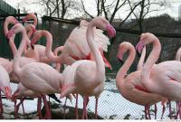 Flamingos 0046