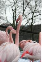 Flamingos 0051