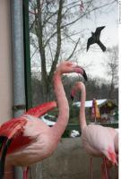 Flamingos 0052