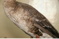 Goose 0024