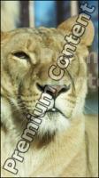 Lion # 2