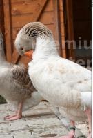 Goose # 2