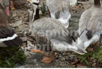 Goose # 4