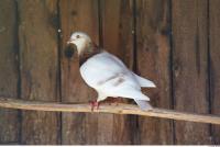 Pigeon 0001
