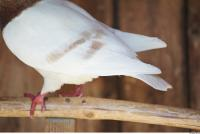 Pigeon 0003