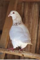 Pigeon 0007