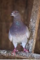 Pigeon 0009