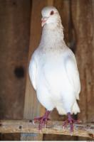 Pigeon 0015