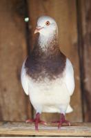 Pigeon 0016