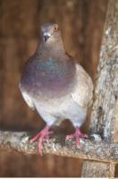 Pigeon 0022
