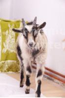 Goat 0002