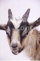 Goat 0011