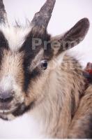 Goat 0012