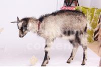 Goat 0017