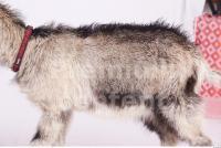 Goat 0020