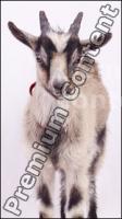 Goat # 1