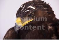 Eagle 0077