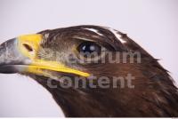Eagle 0081