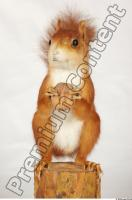 Squirrel-Sciurus vulgaris 0002