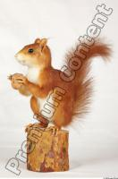 Squirrel-Sciurus vulgaris 0003