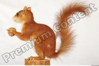 Squirrel-Sciurus vulgaris 0005